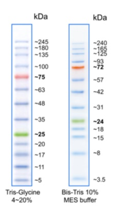 SDS-Page analysis of BlueElf Prestained Protein Marker.